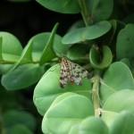 photo d'une mouche scorpion mâle à Hersin-Coupigny