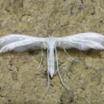 Pterophorus pentadactyla, Ptérophore blanc