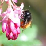 photo d'une abeille maçonne, osmie cornue