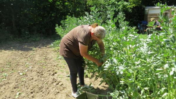 Première récolte d'été aux îlots de la santé. Trucs et astuces pour jardiner sans se ruiner.