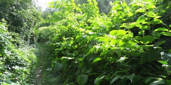 Chantier lutte contre les espèces invasives