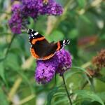 photo d'un papillon vanesse vulcain à noeux-les-mines