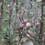 photo de l'araignée pisaure des blés à hersin coupigny