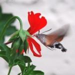 photo d'un papillon morosphinx
