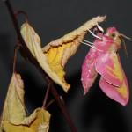 photo d'un papillon sphinx de la vigne